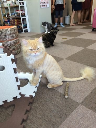 cat cafe lion cut